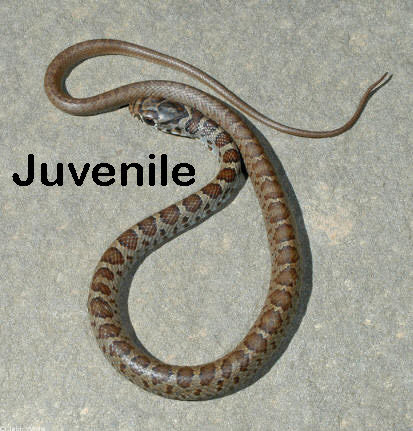 A If Dorsum Is Uniformly Black Or Blue Then The Snake Northern Racer Coluber Constrictor