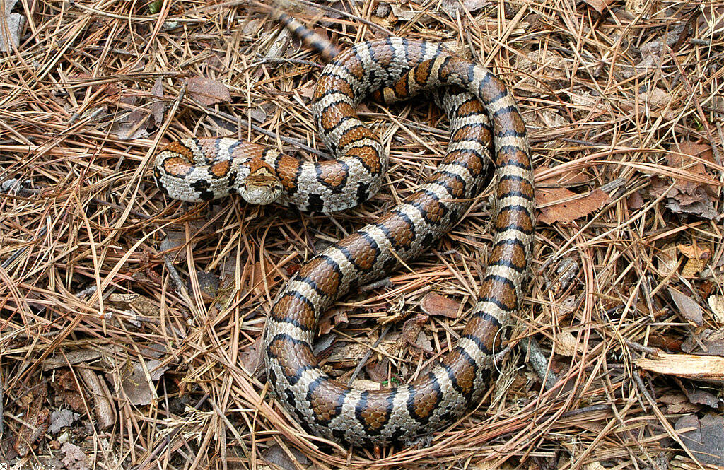 The Legacy Of Central Florida S Black Press: Eastern Milksnake