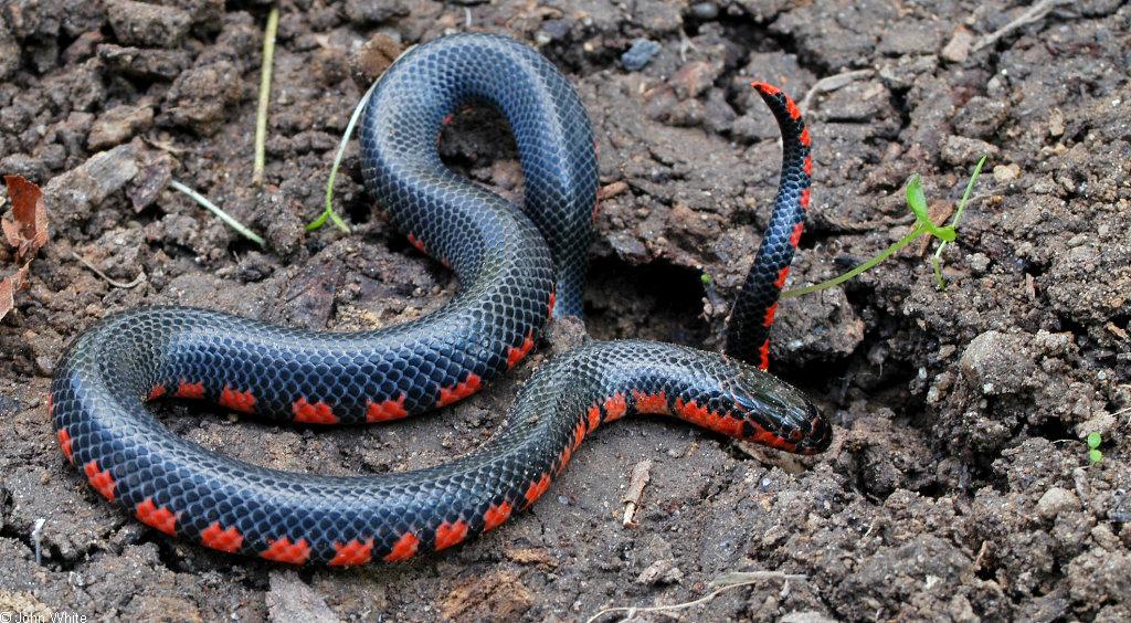 Black Snake With Yellow Diamonds